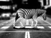 Kőbánya három pontján létesít zebrát a Budapesti Közlekedési Központ | kép forrása: www.kobanya.hu
